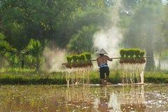 El granjero que lleva el arroz cosechado brota para replantar en granja del arroz Imagen de archivo libre de regalías