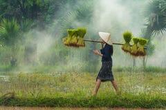 El granjero que lleva el arroz cosechado brota para replantar en granja del arroz Fotografía de archivo libre de regalías