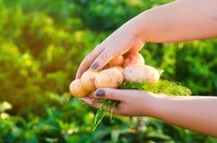 El granjero sostiene en sus manos las patatas amarillas jovenes cosecha de la patata trabajo estacional en el campo Producto-vehí fotografía de archivo