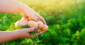 El granjero sostiene en sus manos las patatas amarillas jovenes cosecha de la patata trabajo estacional en el campo Producto-vehí imagenes de archivo