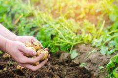 El granjero sostiene en sus manos las patatas amarillas jovenes, cosechando, trabajo estacional en el campo, verduras frescas, ag foto de archivo libre de regalías