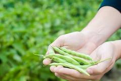 El granjero sostiene habas frescas en manos Habichuelas verdes Cosecha en el campo farming Producción alimentaria de la agricultu imagen de archivo