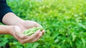 El granjero sostiene habas frescas en manos Habichuelas verdes Cosecha en el campo farming Producción alimentaria de la agricultu imagen de archivo libre de regalías