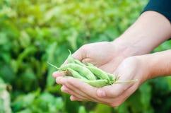 El granjero sostiene habas frescas en manos Habichuelas verdes Cosecha en el campo farming Producción alimentaria de la agricultu fotografía de archivo libre de regalías