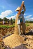 El granjero trilla el arroz, Bali, Indonesia. Imágenes de archivo libres de regalías