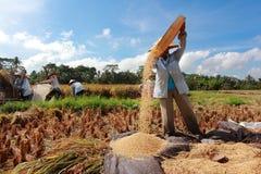 El granjero trilla el arroz, Bali, Indonesia. Foto de archivo