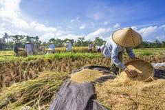 El granjero trilla el arroz, Bali, Indonesia. Imagen de archivo libre de regalías
