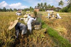 El granjero trilla el arroz, Bali, Indonesia. Fotos de archivo libres de regalías