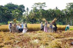 El granjero trilla el arroz, Bali, Indonesia. Imagenes de archivo