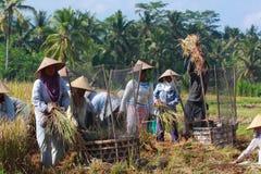 El granjero trilla el arroz, Bali, Indonesia. Fotografía de archivo libre de regalías