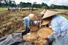 El granjero trilla el arroz, Bali, Indonesia. Imagen de archivo