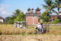 El granjero trilla el arroz, Bali, Indonesia. Foto de archivo libre de regalías