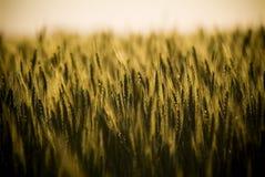 El grano dirige el primer Imagen de archivo libre de regalías