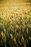 El grano dirige el primer Imagenes de archivo