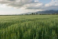 El grano en Val di Chiana Imagen de archivo libre de regalías
