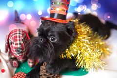 El Griffon belga en un traje de la Navidad foto de archivo