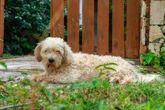 El griffon de la briqueta venden, perro melenudo lindo en el patio trasero Fotografía de archivo