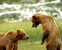 El grisáceo de Alaska lleva el luchar Imagenes de archivo