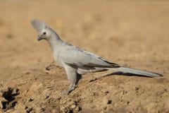 El gris Va-lejos pájaro (concolor) de Corythaixoides Botswana Imagen de archivo