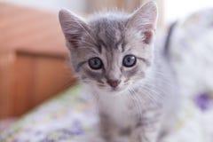 El gris y el negro stiped el gatito del gato atigrado que miraba fijamente la cámara Imagen de archivo