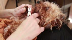 El Groomer procesa los clavos de Yorkshire Terrier de las tenazas almacen de metraje de vídeo