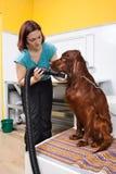 El Groomer seca el pelo de perro con un hairdryer imagenes de archivo