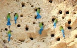 Grupo de comedor de abeja atado azul Fotografía de archivo