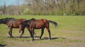 El grupo de caballos jovenes pasta en el rancho de la granja y dejar la escena, animales en pasto del verano almacen de video