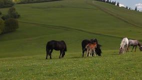 El grupo de caballos libera en pasto verde de la montaña