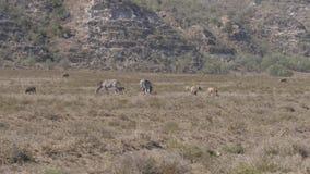 El grupo de cebras y de facoqueros africanos que pasta en hierba seca en una tierra caliente almacen de metraje de vídeo