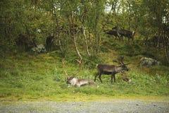 El grupo de ciervos miente en el fondo del bosque fotografía de archivo