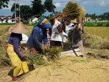 El grupo de cuatro campesinos indonesios que trabajan con arroz Imagen de archivo libre de regalías