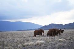 El grupo de elefantes está caminando en la sabana de Kenia Imagen de archivo libre de regalías