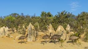 El grupo de emúes dentro de los pináculos abandona, Australia occidental imagen de archivo