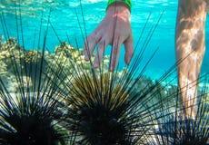El grupo de erizos de mar y de una mano humana debajo del agua Foto de archivo libre de regalías