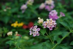 El grupo de flor púrpura Fotografía de archivo