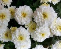 El grupo de flores en mi jardín con agua cae en ellas de una lluvia reciente en un día nublado Imagen de archivo