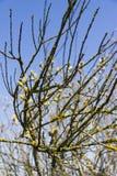 El grupo de gatito-sauce de la primavera ramifica en fondo del cielo azul Foto de archivo libre de regalías