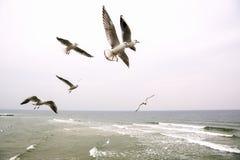 El grupo de gaviotas vuela sobre el mar Imagen de archivo