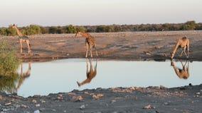 El grupo de jirafas es agua potable en el waterhole de una manera divertida almacen de metraje de vídeo
