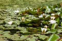 El grupo de lotos y de loto florece la flotación sobre una superficie de la charca imágenes de archivo libres de regalías