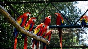 El grupo de macaw Rojo-y-verde repite mecánicamente el chloropterus del Ara que se sienta en ramas en el pabellón grande y que se almacen de video