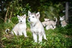El grupo de malamute de Alaska del perrito lindo corre en jardín de la hierba fotografía de archivo