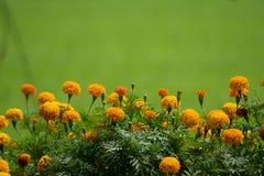 El grupo de maravilla florece, el crecer de flores tropical en la granja orgánica en el campo de Tailandia imagenes de archivo