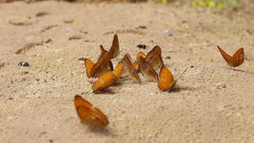 El grupo de mariposa chupa come el mineral y los alimentos en la arena con el insecto almacen de metraje de vídeo