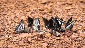 El grupo de mariposas intenta conseguir un poco de comida de los minerales y de las aguas residuales en Pang Sida almacen de metraje de vídeo