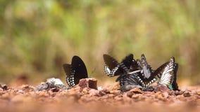 El grupo de mariposas intenta conseguir un poco de comida de los minerales y de las aguas residuales en Pang Sida metrajes
