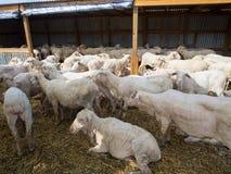El grupo de ovejas en vertientes de un parto después de ser corte de pelo en las agroindustrias de una Australia fotografía de archivo