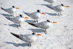 El grupo de pájaros de mar reales de las golondrinas de mar se coloca en la playa arenosa de la llave de la siesta en la Florida Imagen de archivo