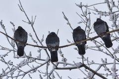 El grupo de palomas congeladas se sienta en una rama en un parque del invierno Imágenes de archivo libres de regalías